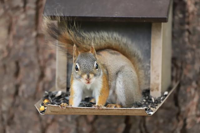 Backyard Red & Fox Squirrels (Ypsilanti, Michigan) - 134/2021 337/P365Year13 4720/P365all-time (May 14, 2021)