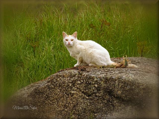 O GATO (Felis silvestris catus) BRANCO