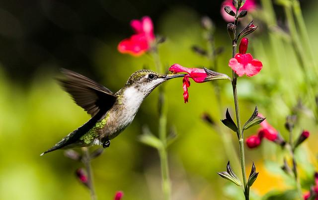 0P7A3095   Ruby-throated Hummingbird , Canada