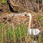 Swan by her nest on the canal