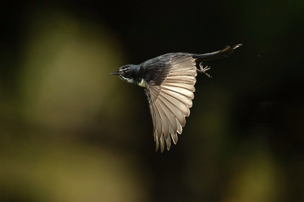 Willie Wagtail (Rhipidura leucophrys leucophrys)