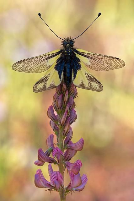 Libelloides coccajus 2021