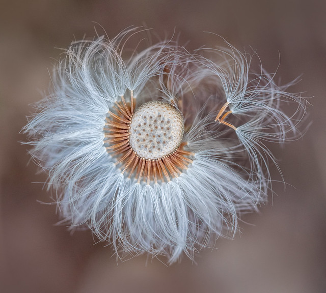 coltsfoot-top