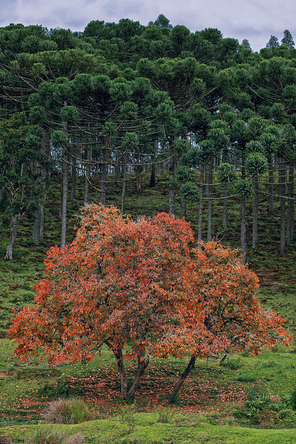 persimmon and pine trees