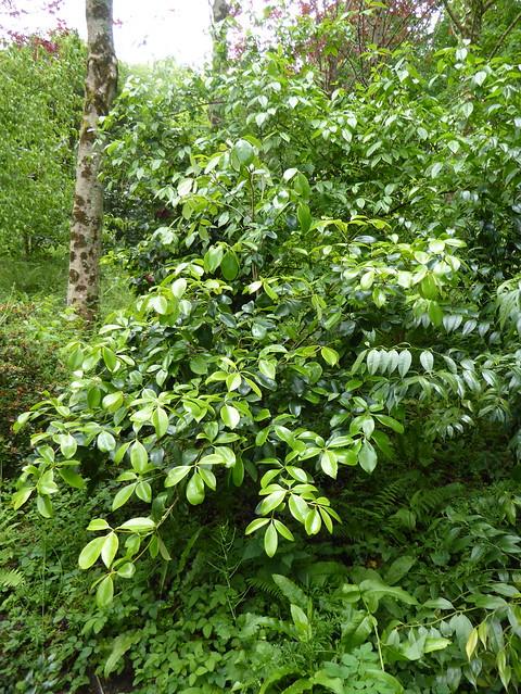 Ternstroemia nitida Merrill 1927 (PENTAPHYLLACACEAE).