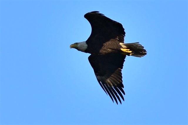 DSC_4602 Female Bald Eagle @ Centerport