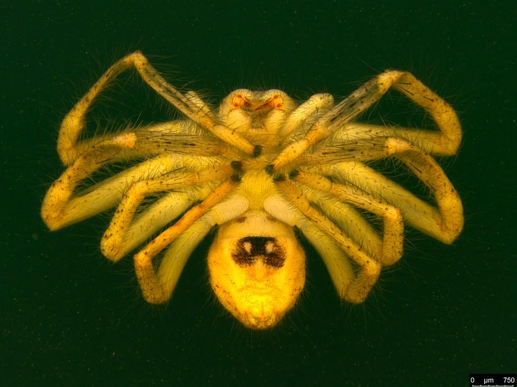 4b - Neosparassus diana (L. Koch, 1875)