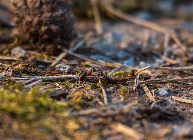 Муравьи целуются | Ants kiss