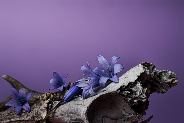 Still life with antlers and agapanthus