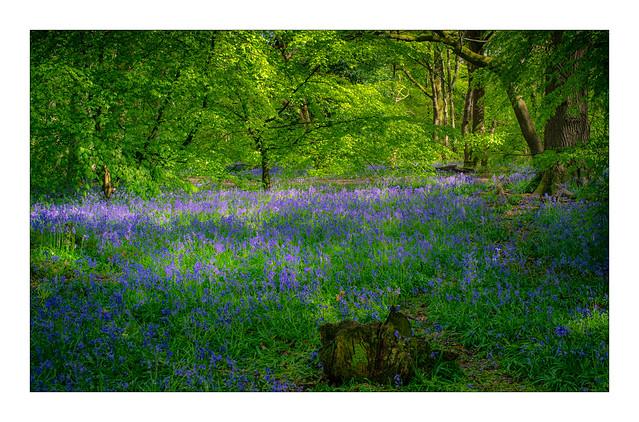 Bluebell Woods (LVK wk19)