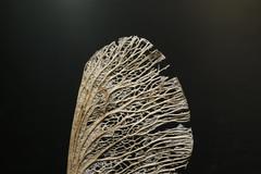 Getrockneter Samen eines Ahorn