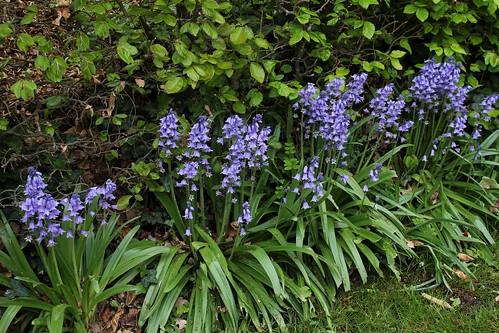 Hyacinthoides hispanica - jacinthe d'Espagne 51181372109_f6e8aeff75