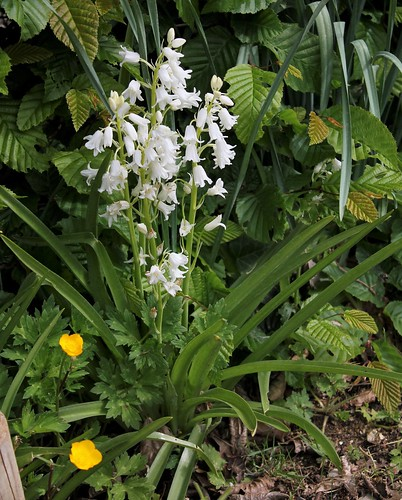 Hyacinthoides hispanica - jacinthe d'Espagne 51181373084_1e0679df6b