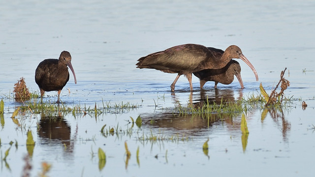 Glossy Ibis (image 1 of 2)
