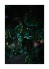 #SONY #ILCE7M2 #a7ii #Sonyimages #50mm #lomography #lomoartlens #lomo #newJupiter3 #iso800 #NDfilter #botanical #botanicalphotography #botanicalart #bokeh #Depthoffield #dof #Asia #Tokyo #Japan #u5409u7965u5bfa #u4e95u306eu982du6069u8cdcu516cu5712 #u6b66u8535u91ceu5e02 #shinikegamigreen