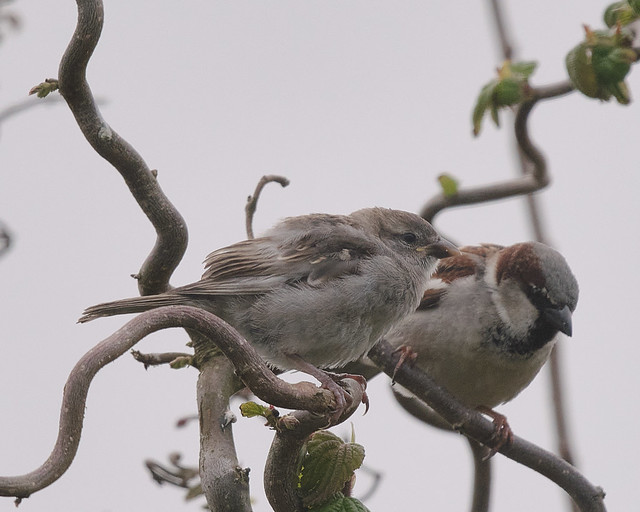 Huismussen / House sparrows