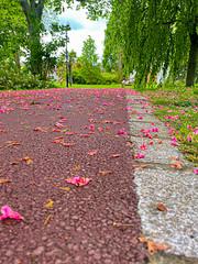 Fleurs de pavier rouge au sol