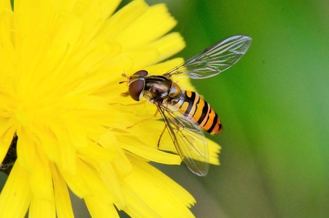 Syrphe ceinturé - Episyrphus balteatus - Marmalade hoverfly