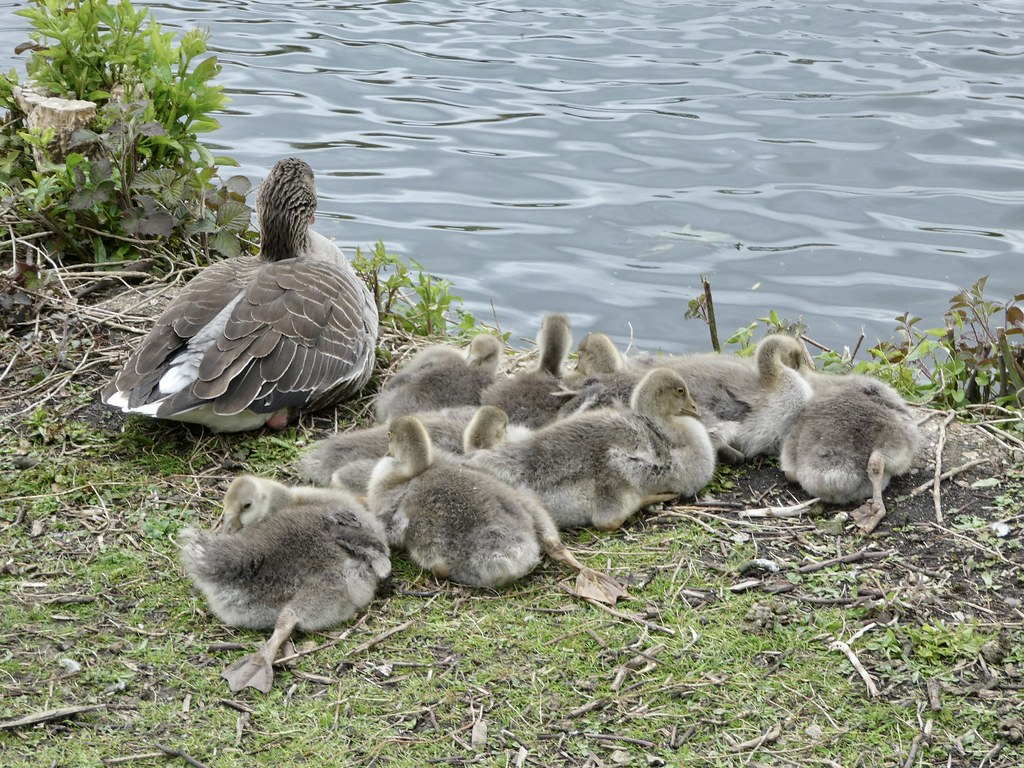 Goslings on the Thames at Reading