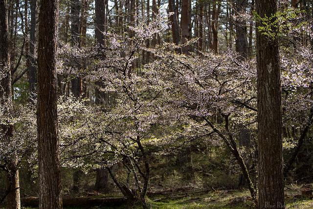 Fujizakura in the forest  of Mt.Fuji