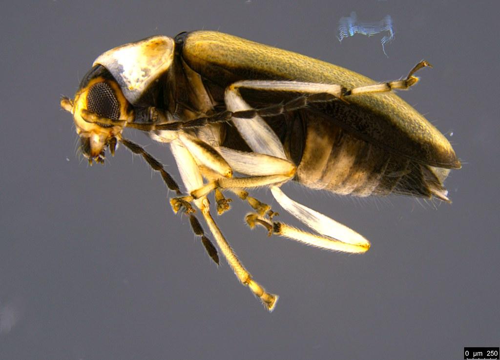 6b - Galerucinae sp.