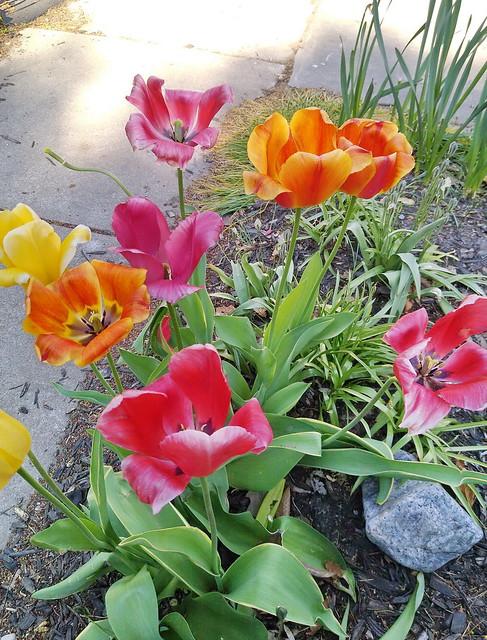 Street Display Tulips - 07