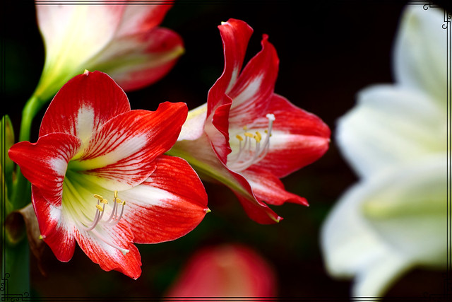 Amaryllis cherry(orange & white mix)                                            (EXPLORED)