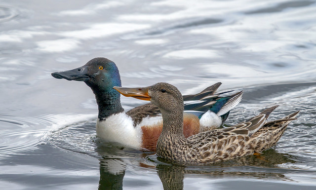Mrs and Mr Northern Shoveler