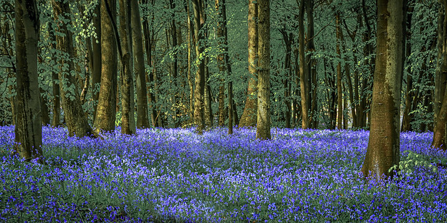 Bluebells at Badgers Mount