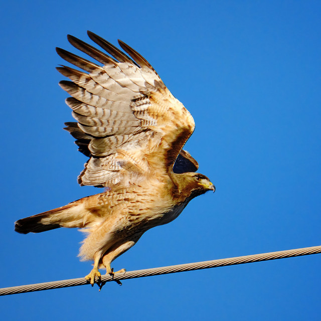 Takeoff from a wire: Red-tailed Hawk
