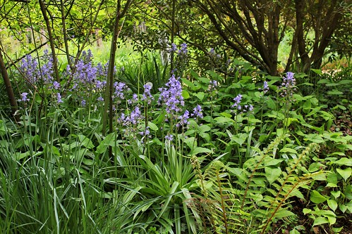 Hyacinthoides hispanica - jacinthe d'Espagne 51181673300_2a2ddba78f