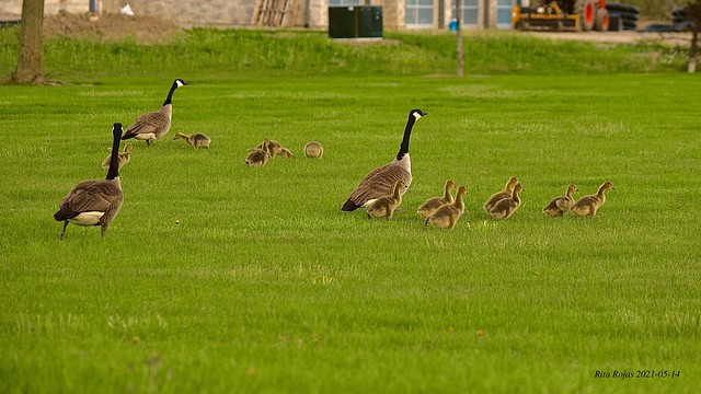 2021-05-14    -    Canada Geese running away from my Camera    -