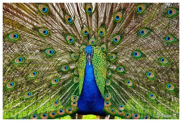 Peacock, Peacock Beach Florida --737
