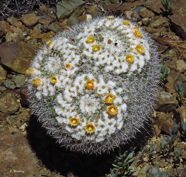 Pincushion Barrel Cactus 9862