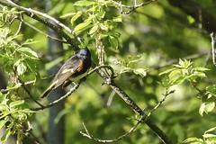 American Redstart May 15