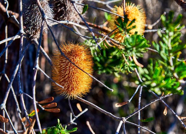 Silver Banksia (mature)