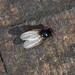 Blaumetallische Lanzenfliege