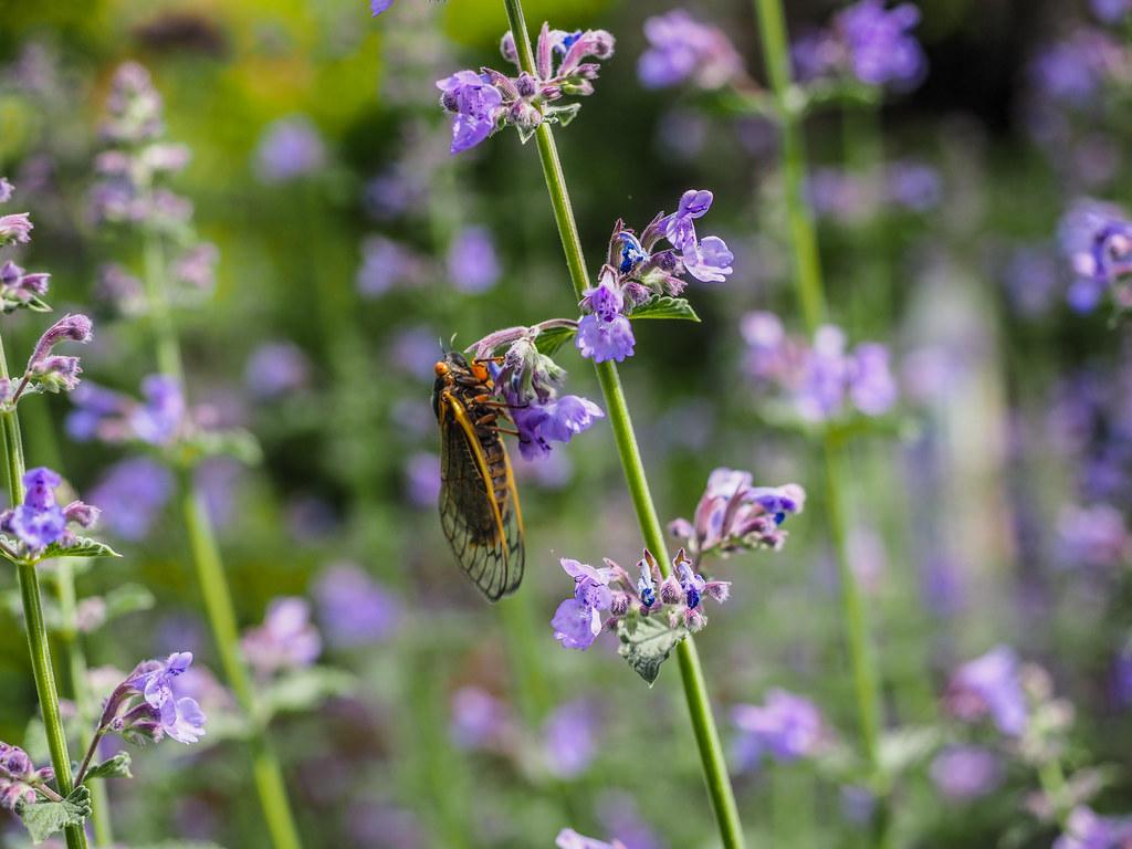 Early Brood X cicada