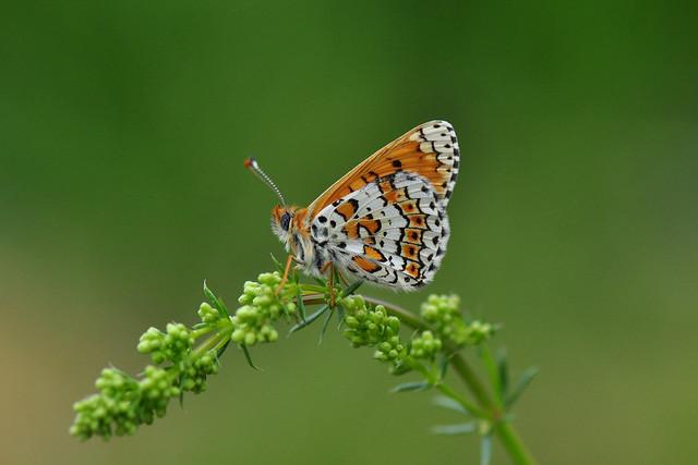 Glanville Fritillary Butterfly (Melitaea Cinxia)