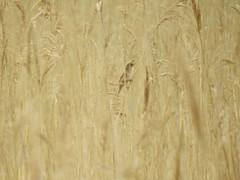 Rohrschwirl (Locustella luscinioides) (3)