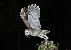 Male Tawny Owl.