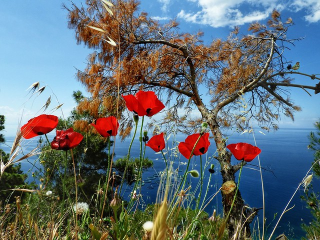 Spring and red poppies🇬🇷