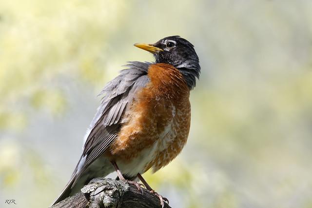 Robin looking backwards!