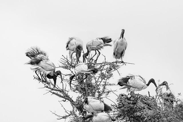African sacred ibis-Ibis sacré (Threskiornis aethiopicus)