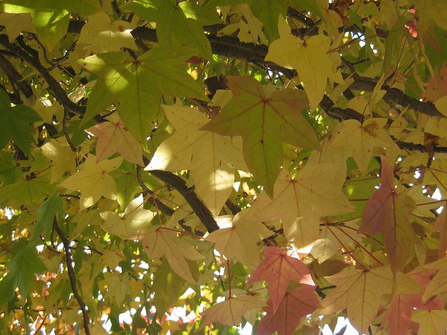 Autumn Leaves on the Turn - Bright