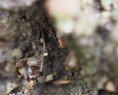 Common Chthonid - Chthonius ischnocheles
