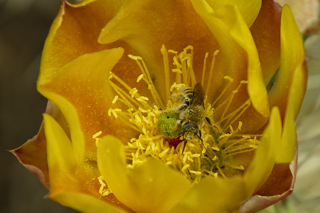 20210515 Prickly Pear Flower with Bee