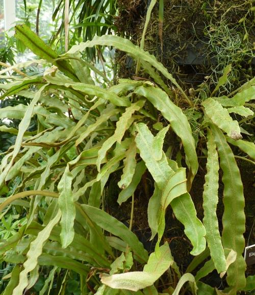 Elaphoglossum vestitum 51182309318_8c34ccf5ae_o