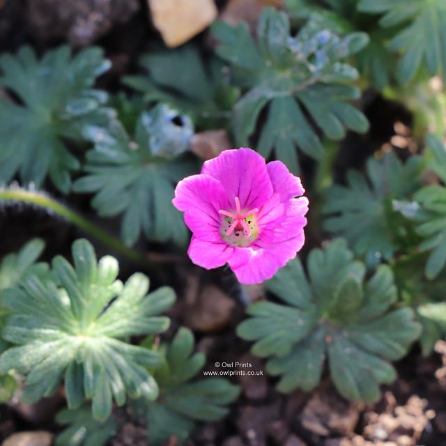 Geranium sanguineum 'Red Robin'