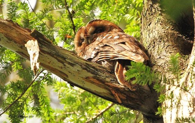 Tawny Owl(female 3)
